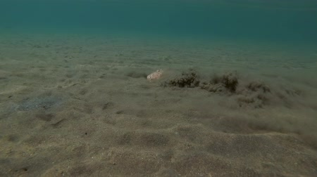 deceleration : Panther Electric Ray (Torpedo panthera) buried into the sand, Red sea, Marsa Alam, Abu Dabab, Egypt