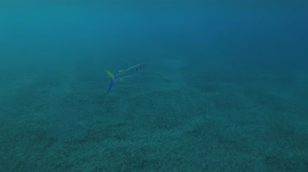 szczupak : Spotted Halfbeak (Hemiramphus far) swim in the blue water, Red sea, Marsa Alam, Abu Dabab, Egypt Wideo