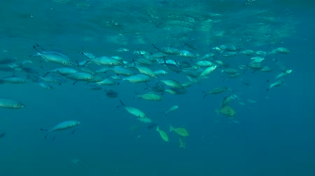 deceleration : school of Lunar Fusilier (Caesio lunaris) swims under the surface in the blue water, Red sea, Marsa Alam, Abu Dabab, Egypt Stock Footage