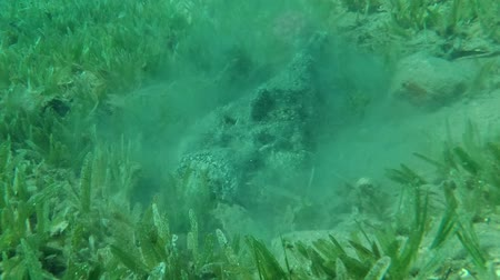 hides : Stonefish buries into sand on the green seagrass, Red sea, Dahab, Sinai Peninsula, Egypt Stock Footage