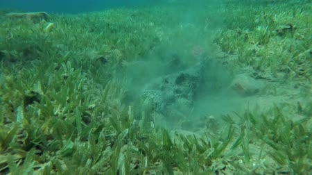 hides : Stonefish (Synanceia verrucosa) buries into sand on the green seagrass, Red sea, Dahab, Sinai Peninsula, Egypt Stock Footage