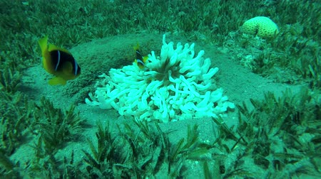rose anemone : Red Sea Anemonefish and White (Albinism) Bubble anemone in the tire - artificial reef, Red sea, Dahab, Sinai Peninsula, Egypt