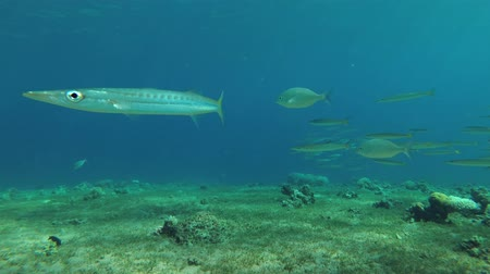 szczupak : school of the Yellow-tail Barracudas (Sphyraena flavicauda) swimming over sea grass, Red sea, Dahab, Sinai Peninsula, Egypt