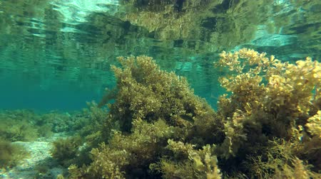 reen : Brown Algae is reflected from the water surface in shallow water