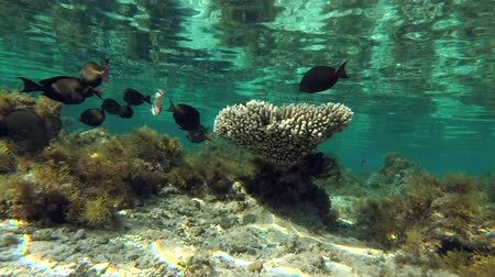 reen : shoal of tropical fish swims in shallow water near coral reef is reflected from the water surface Stock Footage