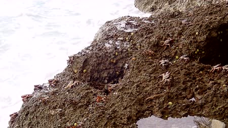 atol : Crabs are sitting on the rock in the surf zone in the island Fuvahmulah, Indian Ocean, Maldives Stock Footage