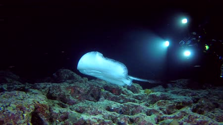 round stingray : Scuba diver shooting Round ribbontail ray swim over coral reef in the night