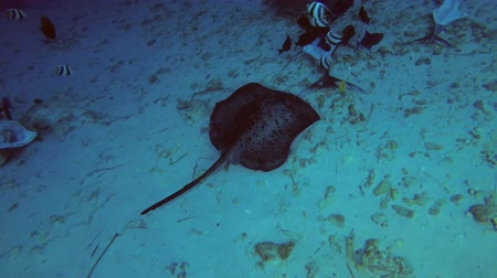 round stingray : Two stingrays Blotched Fantasy Ray and Pink whipray eat the remains of tuna