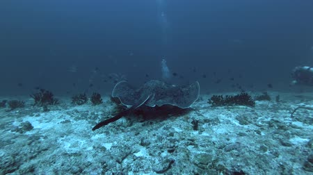 round stingray : Round ribbontail ray watching behind scuba divers