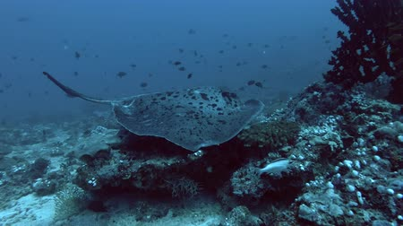 round stingray : Round ribbontail ray on the coral