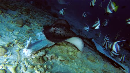 round stingray : Round ribbontail ray eat the remains of tuna Stock Footage