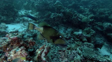 dotty : Big Titan Triggerfish is spinning near coral reef