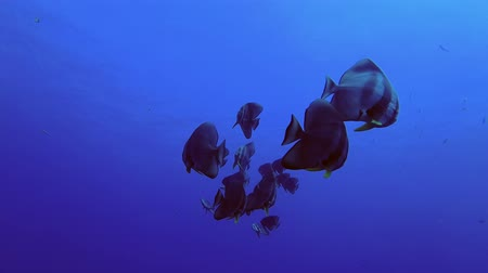 terra : school of Longfin batfish - Platax teira swims in the blue water under surface Stock Footage