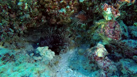 okřídlený : Lionfish of different species are hidden under the coral - Indian Ocean, Maldives