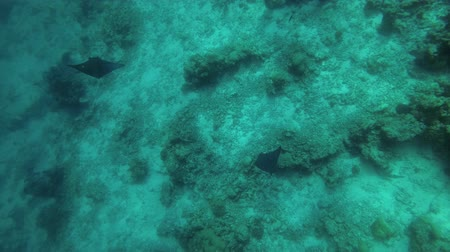 guinean : Two juvenile Greater Guinean Mobula - Mobula tarapacana swim over reef (High-angle shot) Stock Footage