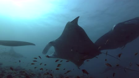 szatan : Group of Reef Manta Rays - Manta alfredi swims under water surface, Indian Ocean, Maldives