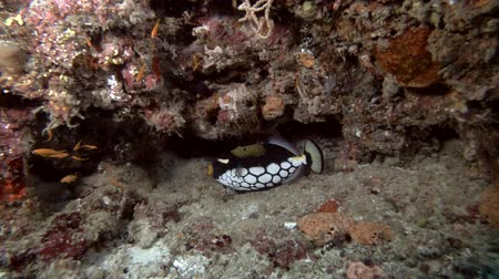balão : Clown Triggerfish - Balistoides conspicillum sleeps under the wall of coral reef