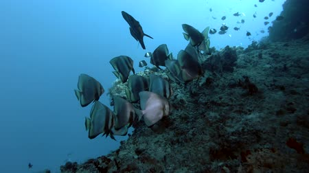 terra : School of Longfin batfish - Platax teira swims over coral reef, Indian Ocean, Maldives