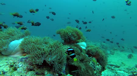 niger : school of Maldive anemonefish - Amphiprion nigripes and school of Domino Damsel - Dascyllus trimaculatus swims over anemones Stock Footage