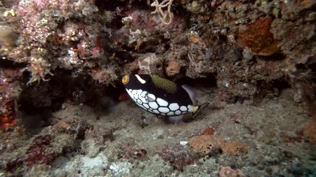 pufferfish : Clown Triggerfish - Balistoides conspicillum swims under the wall of a coral reef