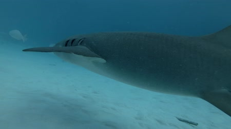 tawny : Tawny nurse shark - Nebrius ferrugineus swim in blue water over sandy bottom