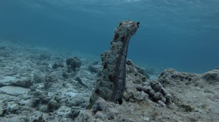 леопард : Graeffes Sea Cucumber, Pearsonothuria graeffei stands upright on a coral reef Стоковые видеозаписи