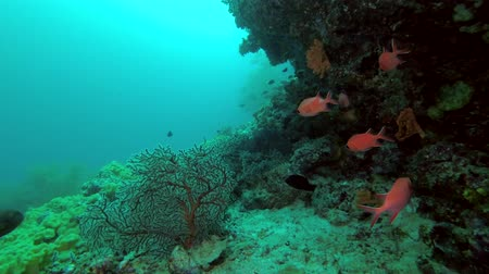 soldierfish : Life under cornice coral reef