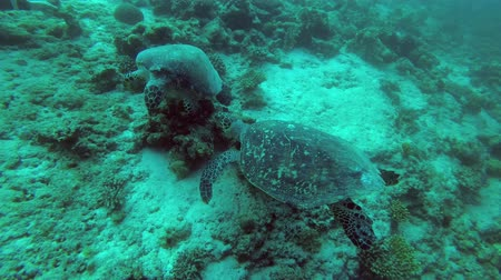 territorial : Territorial conflict of two sea turtles - Indian Ocean, Maldives Stock Footage
