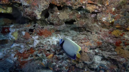 леопард : Emperor Angelfish - Pomacanthus imperator swims near coral reef Стоковые видеозаписи
