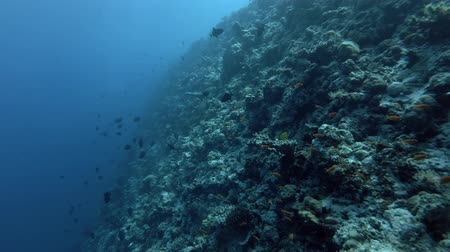 niger : school of Red-toothed Triggerfish swim next to the slope of a coral reef