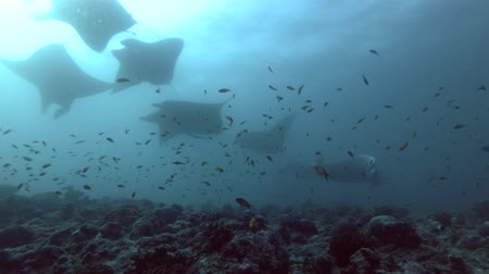 cartilaginous : Group of Reef Manta Rays - Mobula alfredi over coral reef, Indian Ocean, Maldives Stock Footage