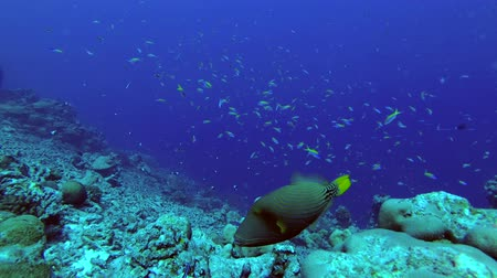 forrado : Orange-lined Triggerfish - Balistapus undulatus and School of Yellowback Fusilier - Caesio xanthonota swims over top coral reef