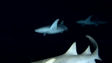 school of shark : school of tawny nurse sharks in the night