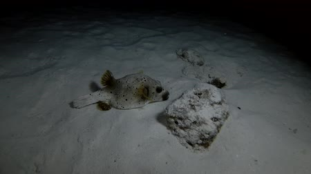 pufferfish : Blackspotted Puffer - Arothron nigropunctatus sleeps on a sandy bed at night