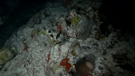 pufferfish : Black-blotched Porcupinefish - Diodon liturosus, night diving