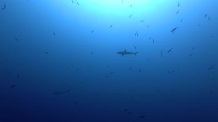 school of shark : Group of Gray reef sharks - Carcharhinus amblyrhynchos swims in the blue ocean Stock Footage