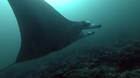 óceáni : Reef Manta Ray swims in blue water, Indian Ocean, Maldives
