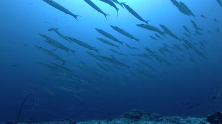 predatório : school of Bigeye Barracuda - Sphyraena forsteri and Gray reef shark - Carcharhinus amblyrhynchos swim in the blue water