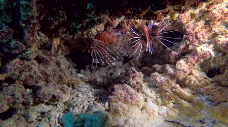 scorpionfish : Lionfish of different species are hidden under the coral - Indian Ocean, Maldives