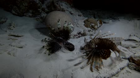 треска : Two Red Lionfish - Pterois volitans hunt at night