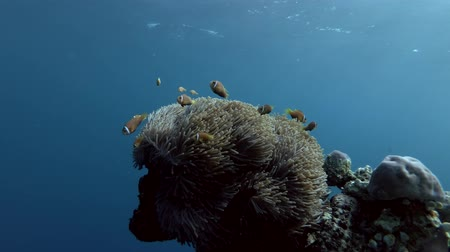 niger : schools of Maldive anemonefish and Domino Damsel swims over big beautiful anemone