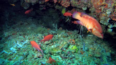 soldierfish : Life in the cave, school of Squirrelfish - Myripristis berndti, Coral Grouper - Cephalopholis miniata and Phantom Bannerfish - Heniochus pleurotaenia
