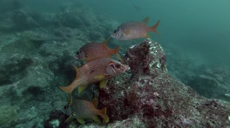 soldierfish : school of Saber Squirrelfish - Sargocentron spiniferum near reef