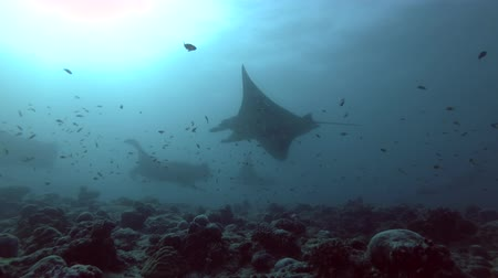 gigante : Group of Reef Manta Rays - Mobula alfredi over coral reef, Indian Ocean, Maldives Stock Footage