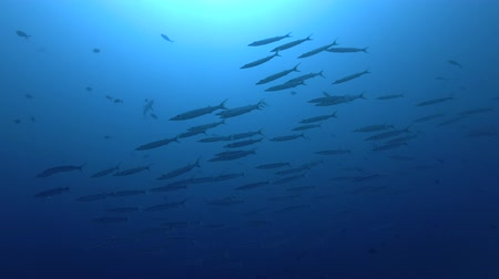 rekin : school of Bigeye Barracuda - Sphyraena forsteri and Gray reef shark - Carcharhinus amblyrhynchos swim in the blue water