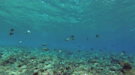 hardal : school of Whitespotted Surgeonfish - Acanthurus guttatus swim in blue water over a coral reef Stok Video