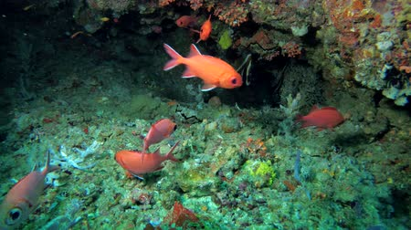 soldierfish : Life in the cave, school of Squirrelfish - Myripristis berndti and Phantom Bannerfish - Heniochus pleurotaenia Stock Footage