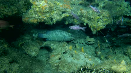 soldierfish : Life in the cave, Camouflage Grouper - Epinephelus polyphekadion in the cave