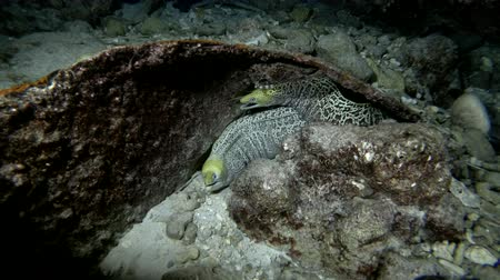 леопард : Two Undulated morays - Gymnothorax undulatus are hidden under a rusty piece of iron