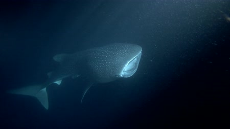 tofu : Whale Shark (Rhincodon typus) with open mouth feeding krill in the night, Indian Ocean, Maldives, Asia
